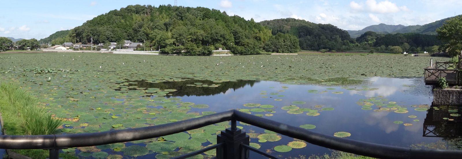 平の沢池のパノラマ写真。広大な湖面が巨大なオニバスの葉で覆われます。