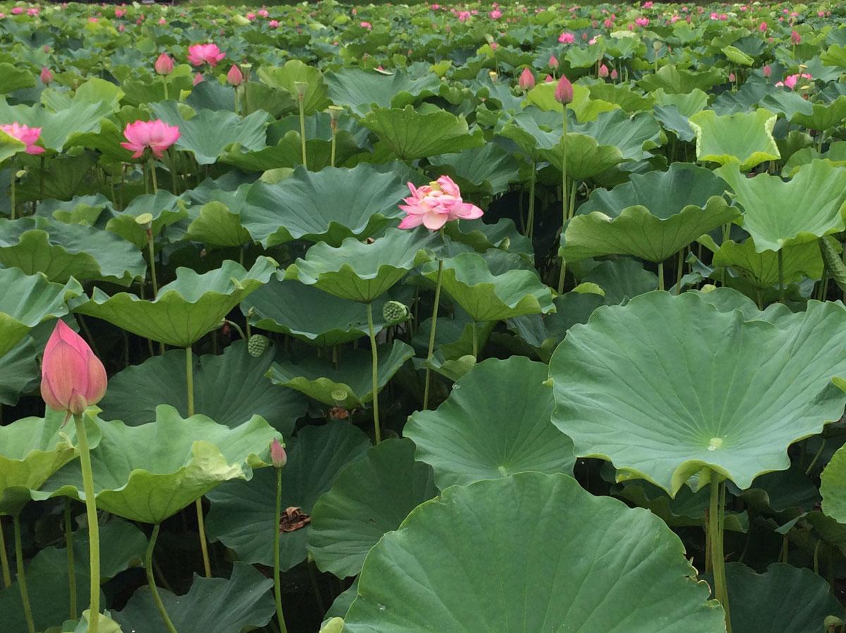 オニバスの池ノとなりには、蓮のが群生する池もあります。夏の7~8月が花のシーズンなのでぜひ訪れてみてください。
