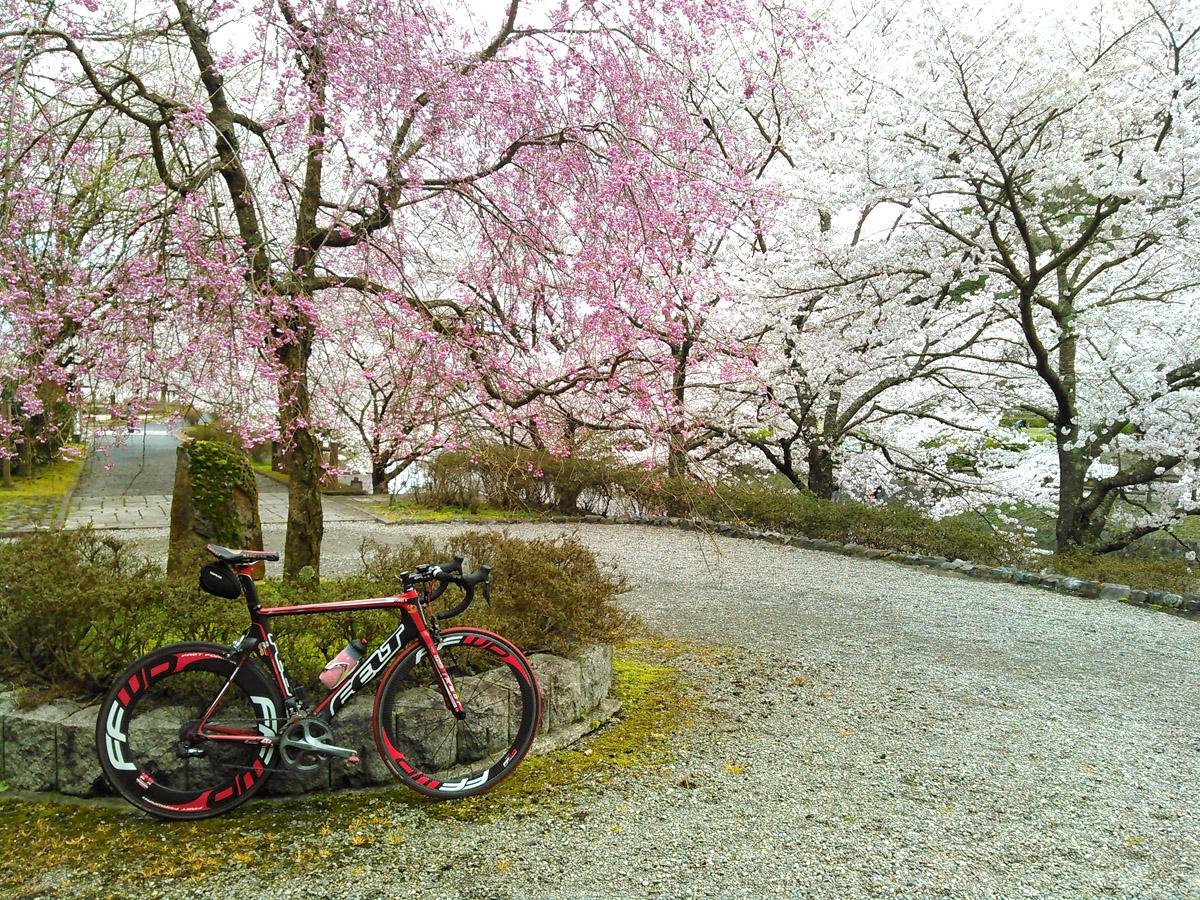 七谷川公園。亀岡最大の桜の名所としても有名で、約1kmに渡って1500本の桜が咲き乱れる様はまさに圧巻。